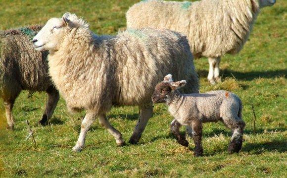 Exmoor Sheep, Animals, Farming