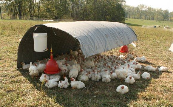Free-range poultry[edit]