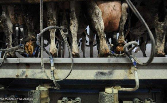 Industrialised milking