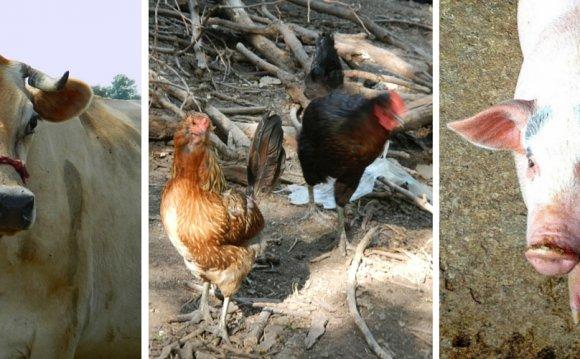 Raising Livestock For Direct