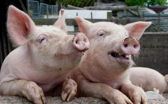 Opponents of factory farming