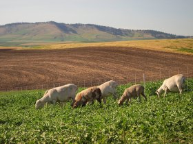 Dorper ewes grazing in selected areas in a mixed crop-livestock research project