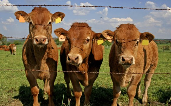Cattle in USA