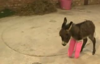 Ri-Donkey-Lously Cute Donkey In A Cast