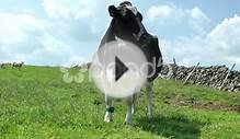 British Farming - Cattle Grazing In Field Stock Video