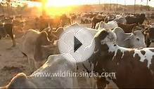 Cattle Farm in Mukam, Rajasthan