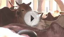 Cattle farming in Nagpur
