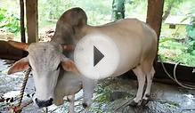 Dairy Farming : Gaolao Cattle - Famous Dual Breed Cattle