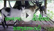 Excema disease in livestock Lao language