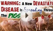 Factory Farm Model Produces Virus Affecting US Pigs