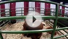 North Carolina State Fair 2014 - Farm Animals, Pigs, Cows