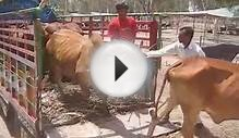 Sahiwal Cattle Fair Dairy Farm Livestock 17 June 2010