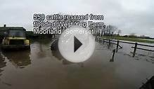 Somerset Floods - 550 cattle rescued from West Yeo Farm