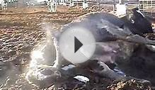 The Brutality of Factory Farms: An Inside Look (VIDEO)