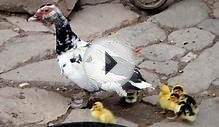 The Domestication History of Muscovy Duck (Cairina moschata)