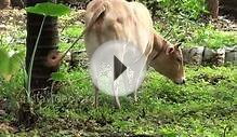 Vechur Cow - a rare cattle breed of Kerala | India Video