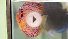 Virtual Tour Of Discus Breeding At Canadian Aqua Farm
