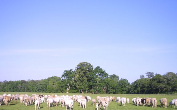 Free Range cattle farming
